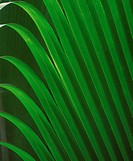 Palm fronds in Valle De Mai National Park on Praslin Island in the Seychelles