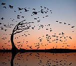 Silhouette of a flock of snow geese flying against sunset sky and reflected in pond