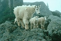 Nanny mountain goats and kids shedding wool while standing on the grey boulders of a mountain on a misty day