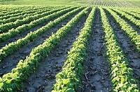 Soybean field, summer