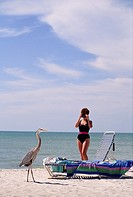 Photographing a Great blue heron while on vacation at Sanibel Island, on Florida´s Gulf Coast.  USA