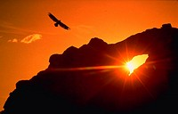 Silhouette of eagle flying at sunset, Alaska.