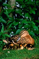 Mallard female and young.  Anas platyrhynchos.