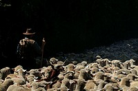 Rear view of a shepherd walking with a flock of sheep, Provence, France