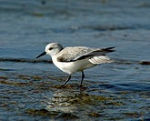 Sanderling, Hawaii