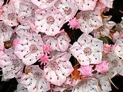 Mountain laurel flowers (Kalmia latifolia)