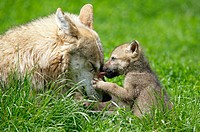 Wolves (Canis lupus), mother and cub, captive. Germany