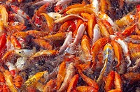 Fish, carp, koi