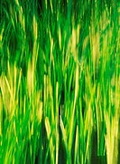 Long stalks of green grass blowing in the wind