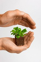 Hands, Salatpflänzchen, hold,  protects   Studio, plant, planting little, salad, corn salad, small, tender, young, growth, biology, agriculture, culti...
