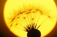 Dandelion, Taraxacum officinale,, wither, breath flower, silhouette,  Sunset, close-up,,  Series, nature, botany, flora, plant, flower, bloom head, fr...
