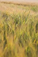 Barley corn.
