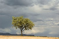 Lone Russian Olive tree at public highway rest stop, Crescent Junction, Utah. USA
