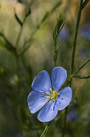 Flowering Blue flax (Linum perenne)