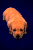 A sleepy, blonde puppy laying on a blue background.