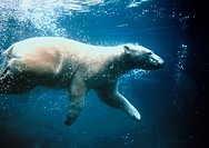 Polar bear swimming under water.  Ursus maritimus.