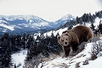 Brown bear walking in snowy mountains.