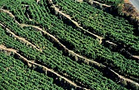 Grapevines on terraced hillside, Douro wine region, Portugal.
