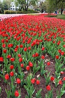 Tulip beds in Commissioner's Park near Dow's Lake. Ottawa, Ontario, Canada&#160;