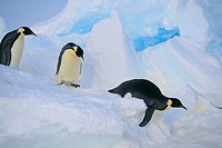 Emperor Penguins Sliding Downhill