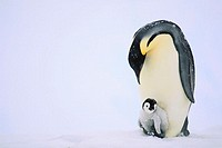 Emperor Penguin Protecting Offspring from the Cold