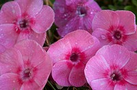 Outdoor garden. Phlox flowers and raindrops