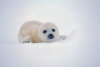Harp Seal Pup in the Snow