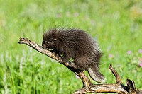 Baby porcupine on branch (Erethizon dorsatum)
