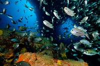 School of two spot demoiselles (Chromis dispilus) in underwater archway. Tie Dye Arch. Poor Knights Islands. New Zealand. South Pacific Ocean