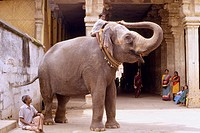 Tiruchchirappalli, temple elephant. Tamil Nadu. India.