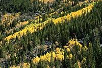 Aspens in Cache la Poudre Canyon