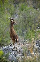 Rock Goat (Capra ibex), Sierras de Tejeda y Almijara Natural Park. Malaga province, Andalusia, Spain