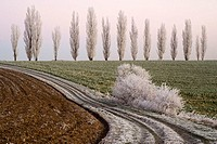 Field landscape, way, poplars, hoarfrost,   Landscape, fields, track, turned, inflection, nature, bushes, shrubs, trees, plants, season, winters, dayb...
