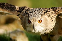 Eagle-owl, bubo bubo flight portrait   Nature, forest, animal, animals, birds, bird, owls, owl, owl bird, owl birds, night birds, night bird, type of ...