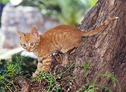 Tree, cat, red-striped, young   Log, animals, mammals, pet, house cat, 10-12 weeks, young, kittens, free-living, climb, playing, behavior, outside, su...