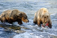 Grizzli bears catching salmon in Brooks river (Ursus arctos horribilis). Katmai National Park. Alaska. USA