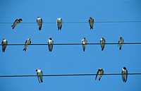 Sand martins gathered on telephones wires (Riparia riparia), France