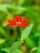 Wild Zinnia Flower (Zinnia elegans), Bhimashankar, Maharashtra, India.
