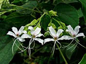 Clerodendrum infortunatum, pagoda flower. A native of East Tropical Asia, the pagoda flower is a garden plant with large shining green, lobed leaves w...