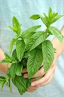 Mint (Mentha sp.)
