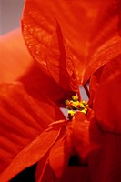 Close-Up of a Poinsettia