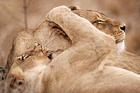 Closeup of Playful Young Lions