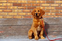 Golden Retriever Puppy on Leash
