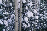 Aspen Trees near Snow-Covered True Pine