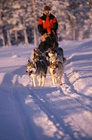 Sweden, dog sleighs, huskies   Europe, Scandinavia, Hamra, Dalarna, Siberian dogs, sleigh dogs, sleighs, pulls, snow, sport, dog sport, races, match, ...