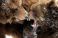 Brown bears, Ursus arctos, fight,  Detail  Series, animals, two, wild animals, mammals, carnivores, bears, fur, brown, mouth, frankly, teeth fight pow...