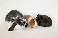 Guinea pigs and rabbit
