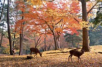 Japan, island Honshu, Nara,  Nara-Park, stags, Cervus spec., Autumn Asia, park, park, forest, red deer, deer, animals, Mammals, wild animals, ´saints ...