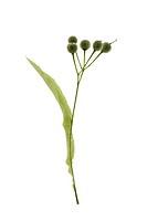 Lime tree flower, umbels,   Botany, plant, linden, Trugdolde, capsules, seeds, seed capsules, capsules, leaf, flier, Tragblatt, green, concept, increa...