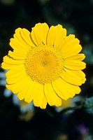 Golden Marguerite Anthemis tinctoria flower  This plant is also called Yellow Chamomile and is used as a herbal tea to treat cramp  The leaves can be ...